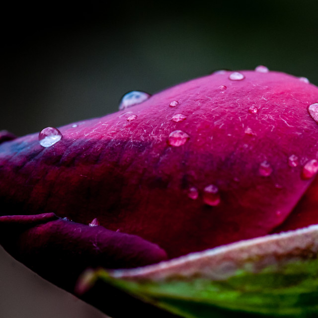 """Rose in the rain"" stock image"
