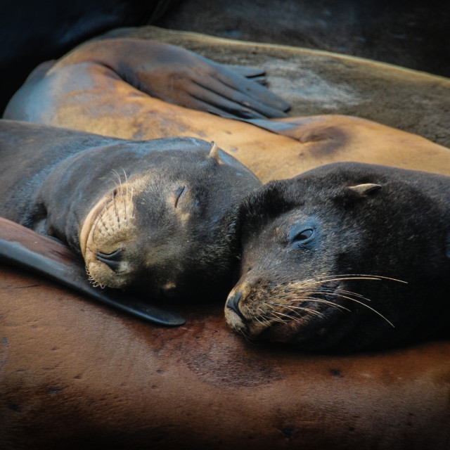 """Sea lions in love"" stock image"