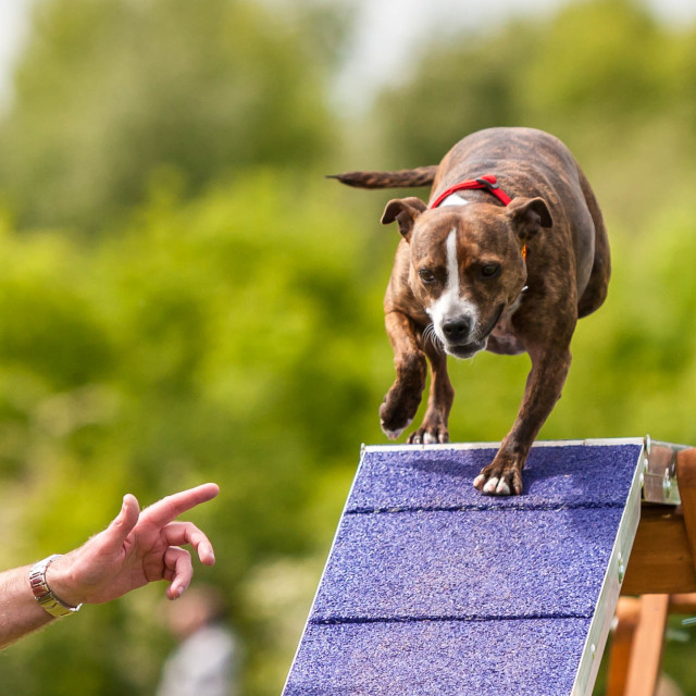 """""""Staffordshire Bull Terrier Agility"""" stock image"""