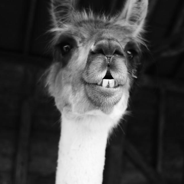 """Llama Portrait"" stock image"