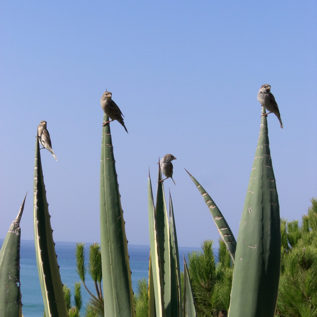 """Sparrows on Aloe Vera"" stock image"