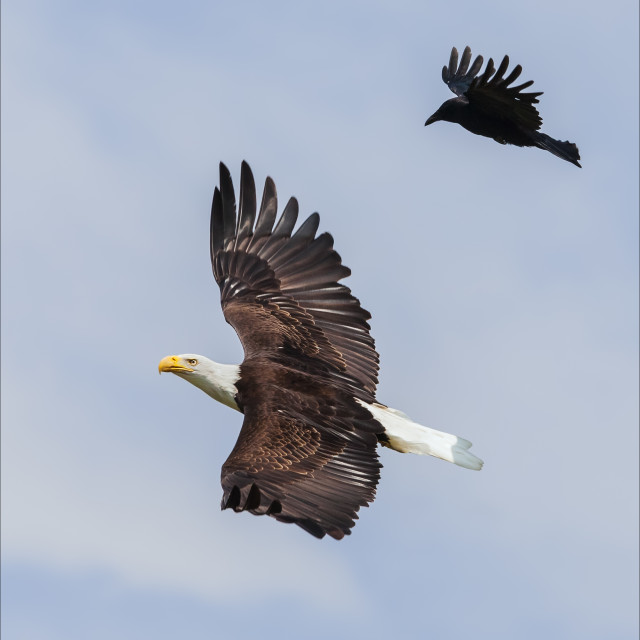 """Bald eagle with a crow in attendance"" stock image"