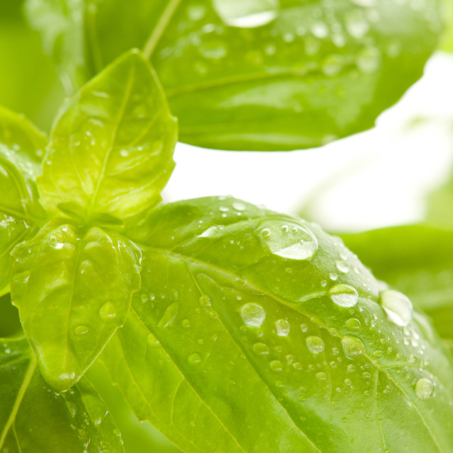 """Ocimum basilicum basil leaves and water drops"" stock image"