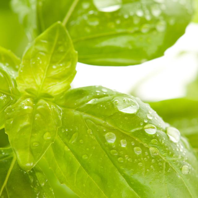 """""""Ocimum basilicum basil leaves and water drops"""" stock image"""