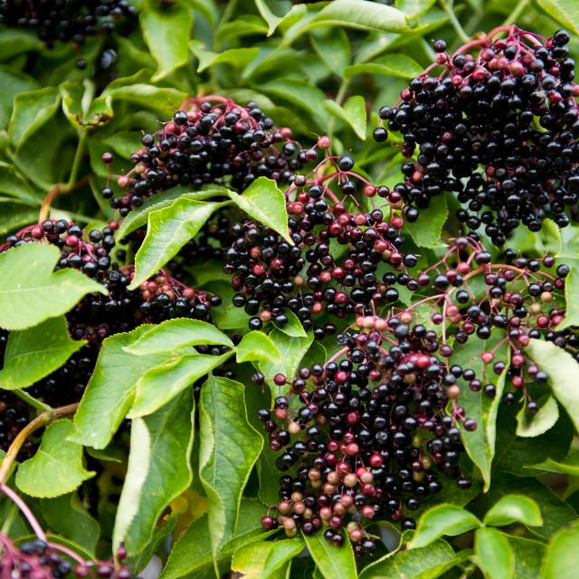 """Elderberry fruits clusters sag on plant"" stock image"