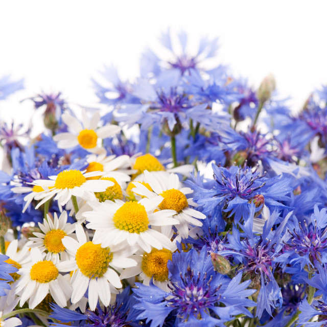 """""""Cornflower and chamomile bunch blooms"""" stock image"""