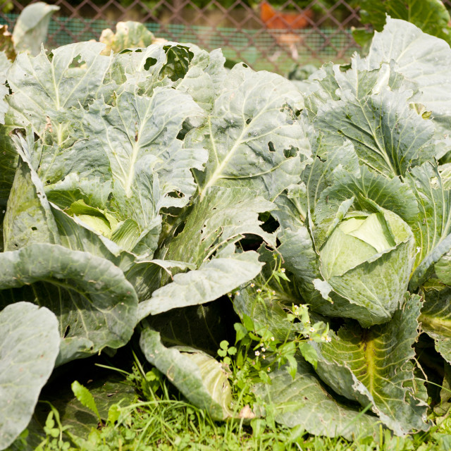 """""""Cabbage leaves eaten by caterpillars"""" stock image"""
