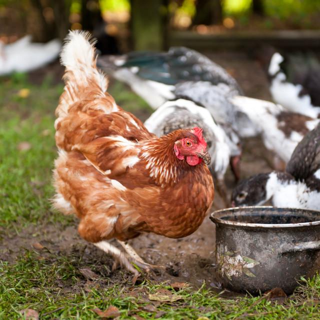 """""""Free range hen digging"""" stock image"""