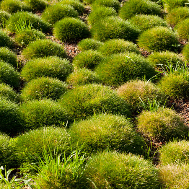 """""""Spherical clump of grass in ornamental park"""" stock image"""
