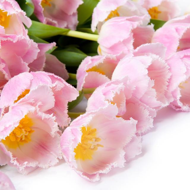 """Flower heads Tulipa Crispa Hamilton pink"" stock image"