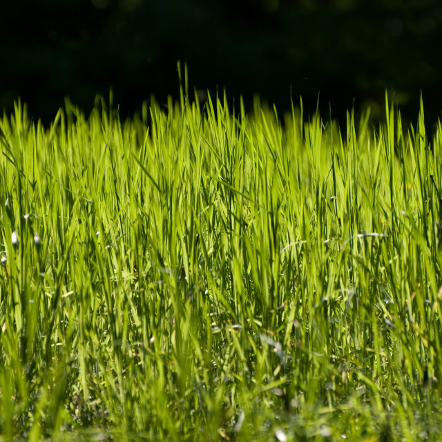"""bright grass leaves grow on black background"" stock image"