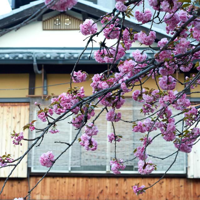"""Cherry Blossom Season"" stock image"