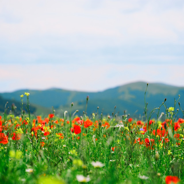 """Colorful flower field"" stock image"