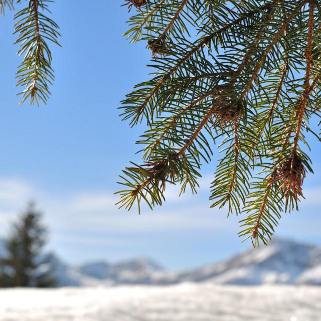 """""""fir branch"""" stock image"""