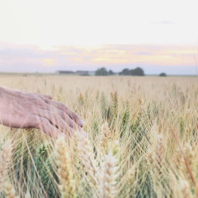 """""""man's hand in field"""" stock image"""
