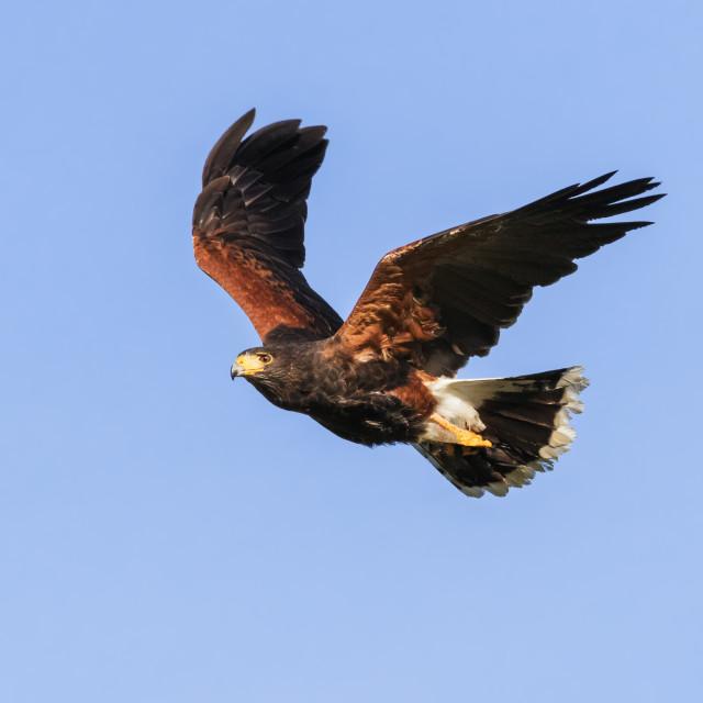 """Harris hawk on the wing"" stock image"