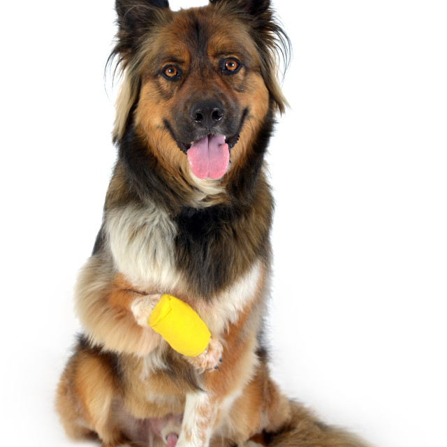 """dog with injured paw"" stock image"