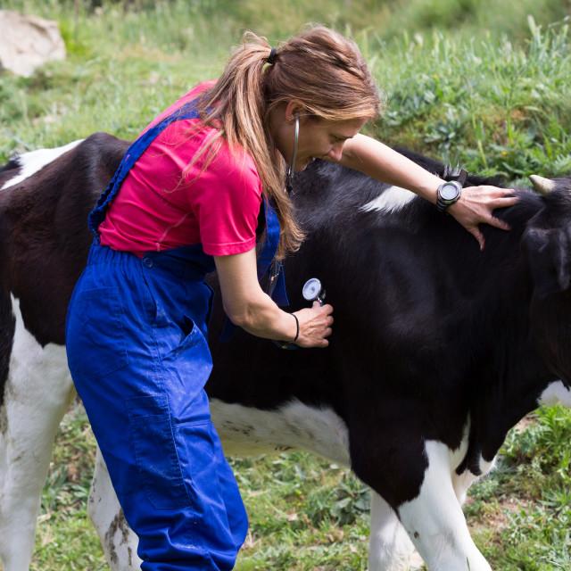 """Veterinary on a farm"" stock image"