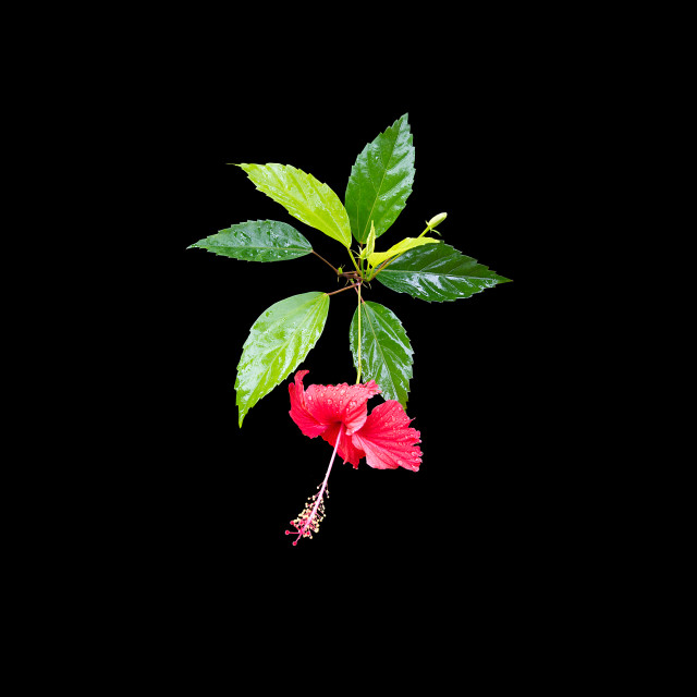 """Carmine red hibiscus flower"" stock image"