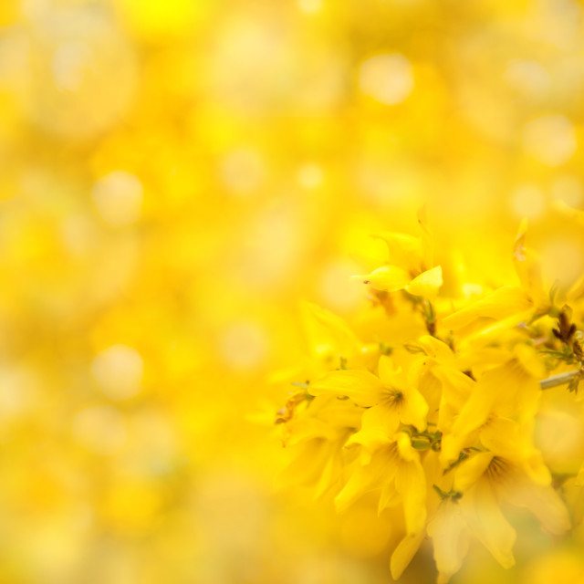 """Forsythia bright yellow flowers abstract"" stock image"