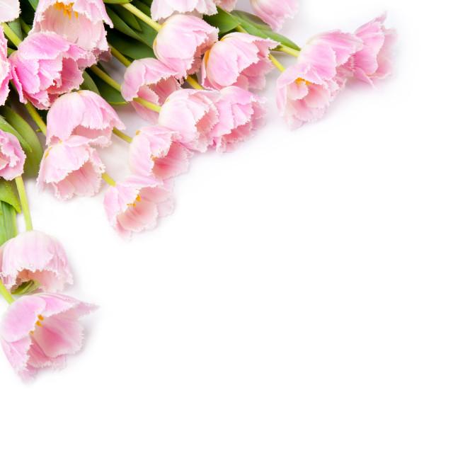 """Tulipa Crispa Hamilton tulips bouquet lying"" stock image"