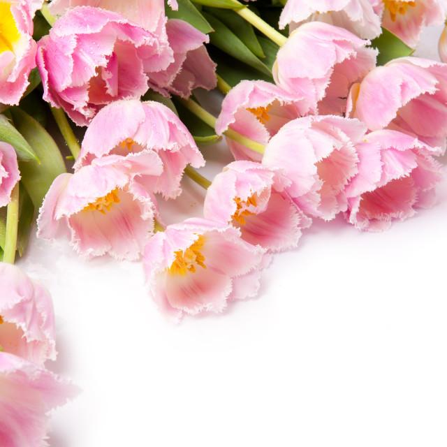 """Tulipa Crispa Hamilton pink tulips bouquet"" stock image"