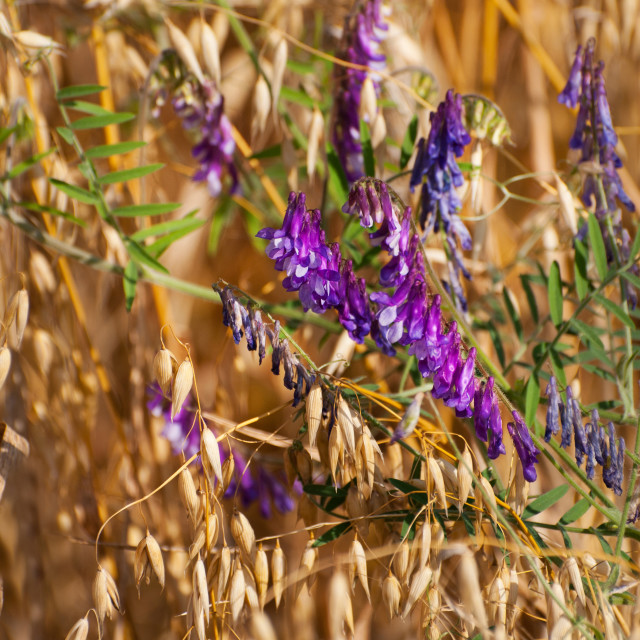 """Avena or oats and Vicia flowers grow in field"" stock image"