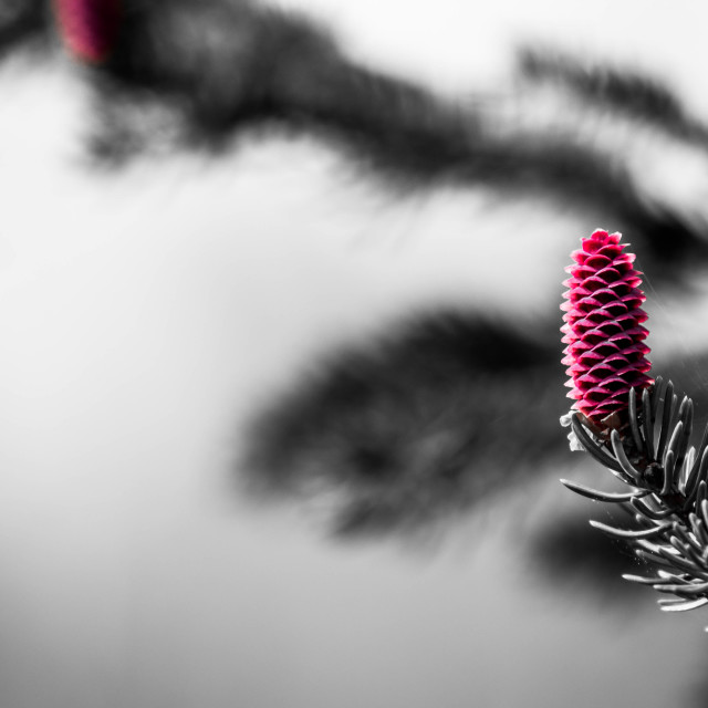 """""""Pine cone on a branch"""" stock image"""