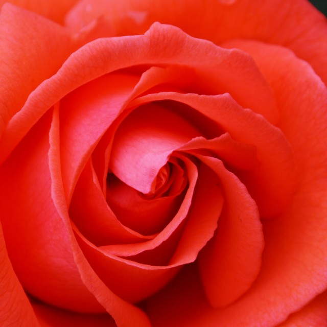 """A Red Rose."" stock image"