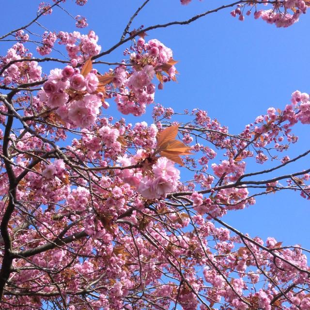 """""""Cherry blossom against a blue sky"""" stock image"""