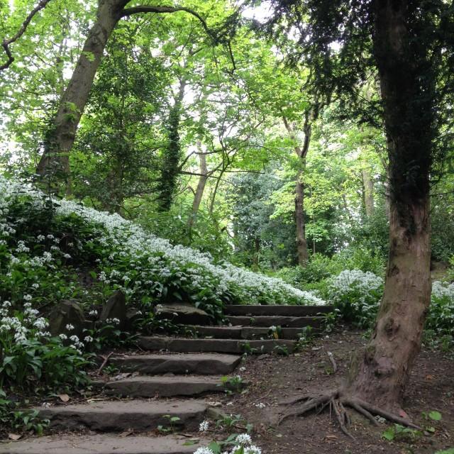 """Garlic flowers in woodland"" stock image"