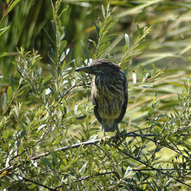 """Juvenile Black Crowned Night Heron"" stock image"