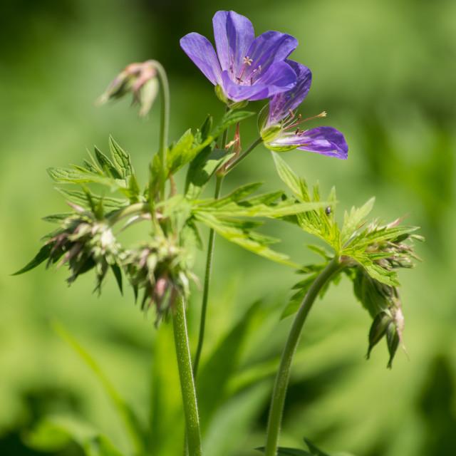 """""""Geranium Flower"""" stock image"""