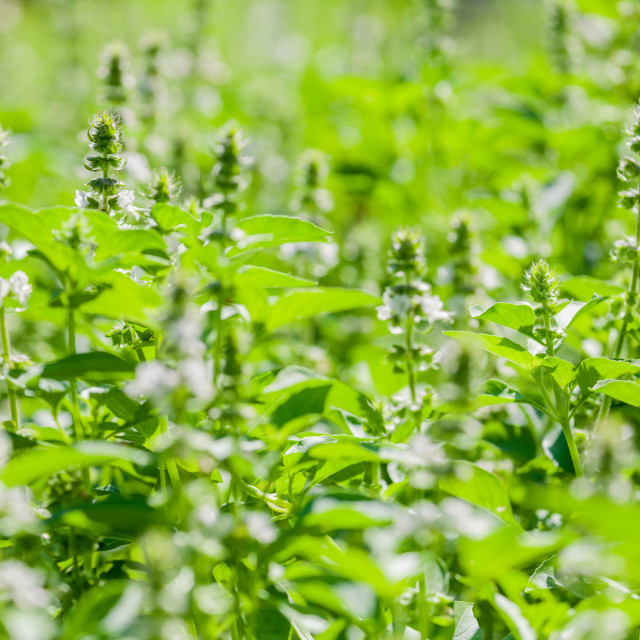 """The basil field with flowers herb for aromatherapy ."" stock image"