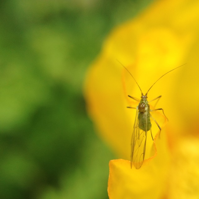 """Aphid on a petal"" stock image"