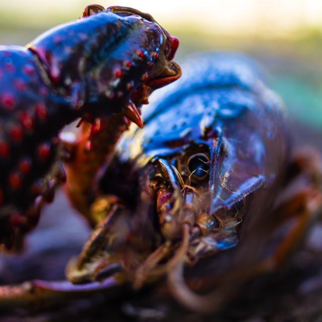 """Killing crayfish"" stock image"