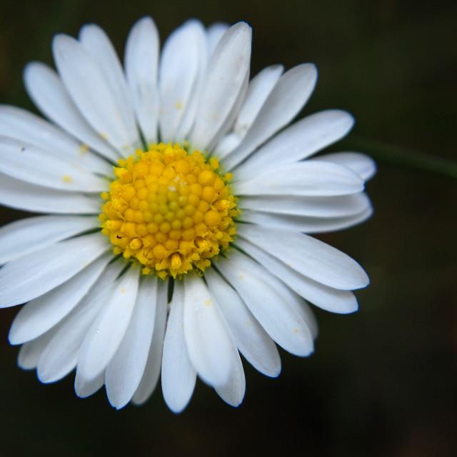 """""""Summer daisy macro 2"""" stock image"""
