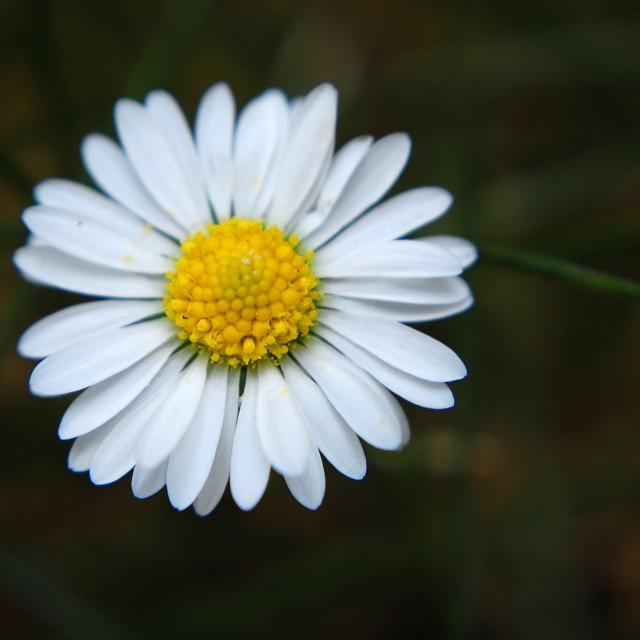 """""""Summer daisy macro 1"""" stock image"""