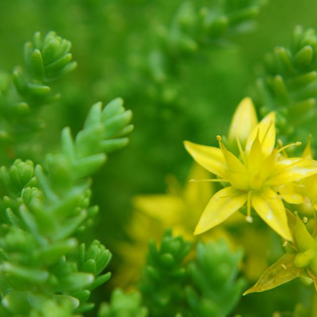 """""""Alpine plant flower macro"""" stock image"""