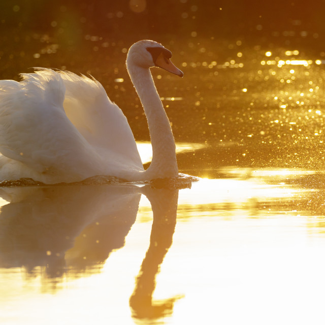 """Evening Swan"" stock image"