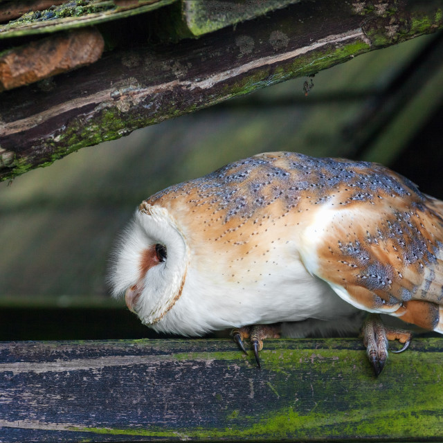 """Barn owl striking an unusual pose"" stock image"