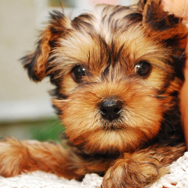 """Yorkshire Terrier"" stock image"