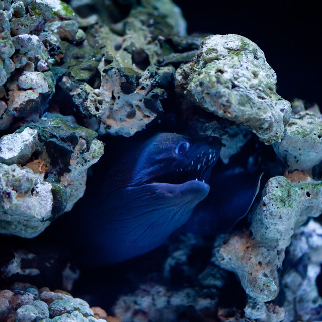 """Moray eel or Muraenidae fish"" stock image"