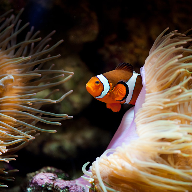 """Orange fish in sea anemones"" stock image"