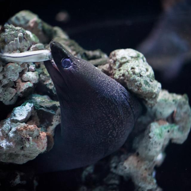 """Moray eel eating little fish"" stock image"
