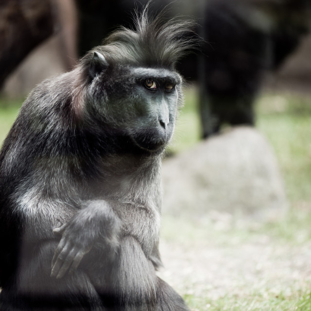 """Single macaque monkey sitting"" stock image"