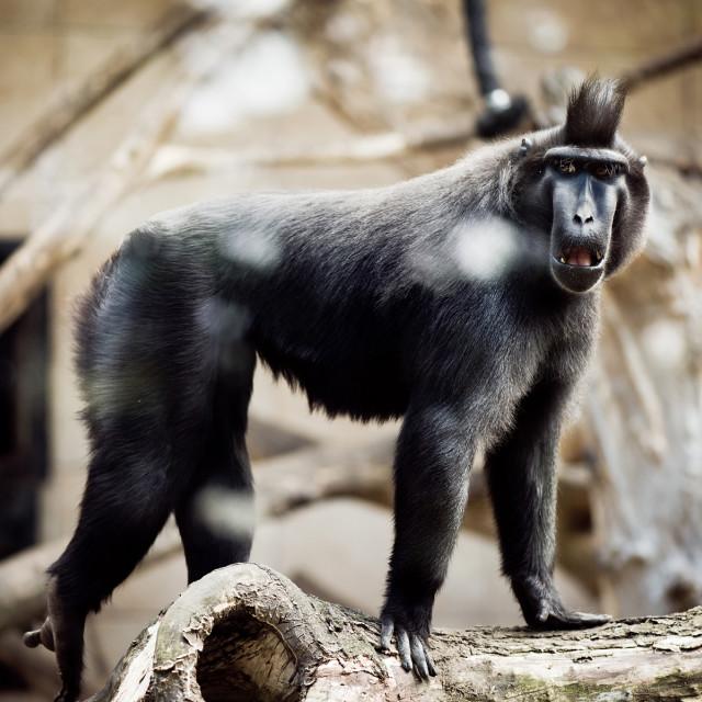 """""""Single macaque monkey standing"""" stock image"""