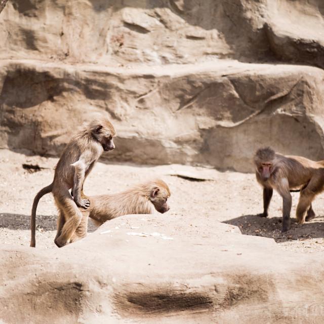 """Baboons monkeys having sex"" stock image"