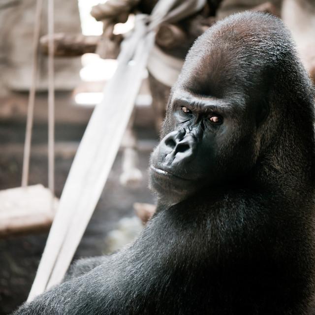 """Single gorilla sitting alone"" stock image"