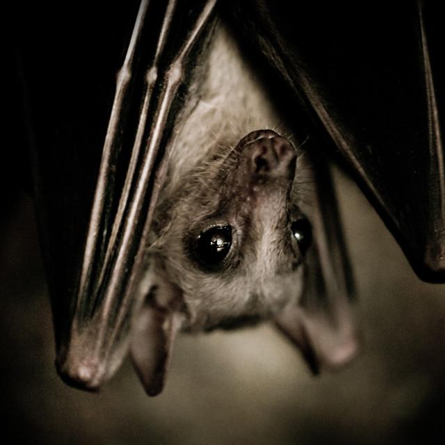 """Single bat hanging portrait"" stock image"